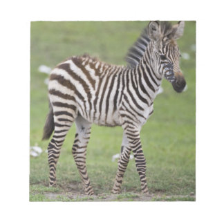 Africa. Tanzania. Zebra colt at Ngorongoro 2 Notepad