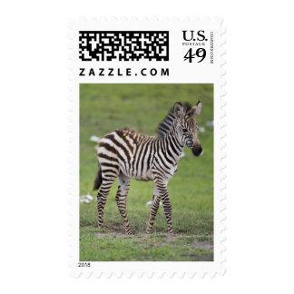 Africa. Tanzania. Zebra colt at Ngorongoro 2 Postage Stamp