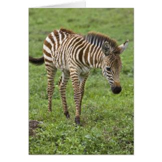 Africa. Tanzania. Zebra colt at Ngorongoro 3 Card