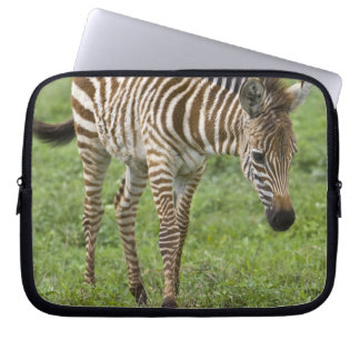 Africa. Tanzania. Zebra colt at Ngorongoro 3 Computer Sleeves