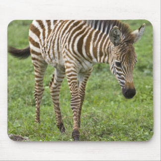 Africa. Tanzania. Zebra colt at Ngorongoro 3 Mouse Pad
