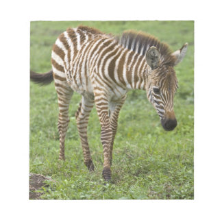 Africa. Tanzania. Zebra colt at Ngorongoro 3 Notepad