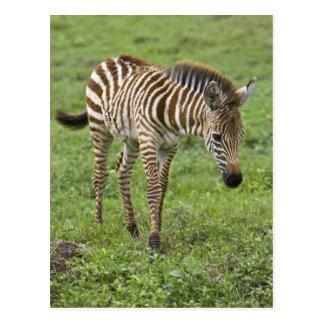 Africa. Tanzania. Zebra colt at Ngorongoro 3 Postcard