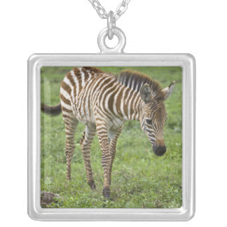 Africa. Tanzania. Zebra colt at Ngorongoro 3 Silver Plated Necklace