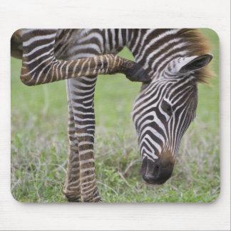 Africa. Tanzania. Zebra colt at Ngorongoro Mouse Pad