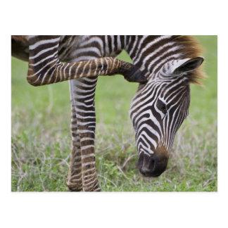 Africa. Tanzania. Zebra colt at Ngorongoro Postcard
