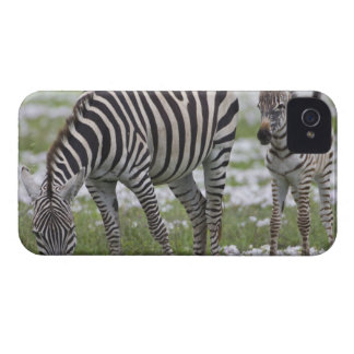 Africa. Tanzania. Zebra mother and colt at Blackberry Bold Covers