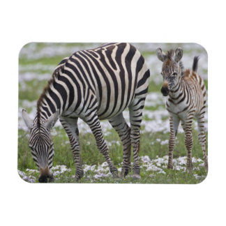 Africa. Tanzania. Zebra mother and colt at Magnet