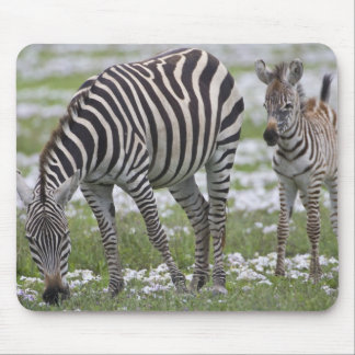 Africa. Tanzania. Zebra mother and colt at Mouse Pad