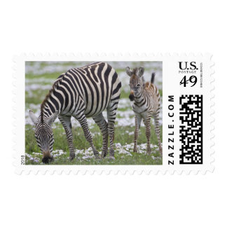 Africa. Tanzania. Zebra mother and colt at Stamp