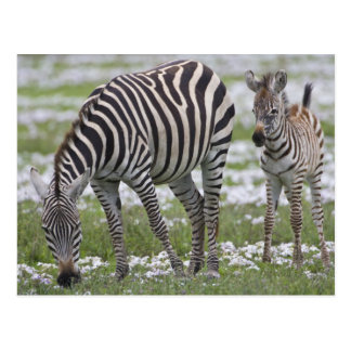 Africa. Tanzania. Zebra mother and colt at Postcard
