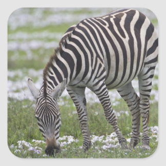 Africa. Tanzania. Zebra mother and colt at Square Sticker