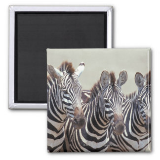 Africa, Tanzania, zebras 2 Inch Square Magnet