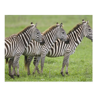 Africa. Tanzania. Zebras at Ngorongoro Crater in Postcard