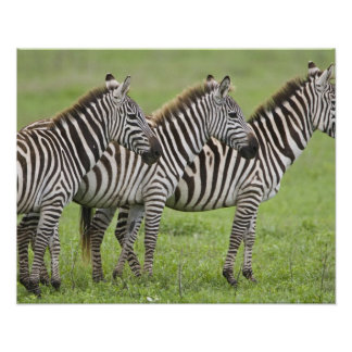 Africa. Tanzania. Zebras at Ngorongoro Crater in Poster