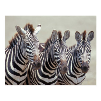 Africa, Tanzania, zebras Postcard