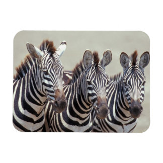 Africa, Tanzania, zebras Rectangular Photo Magnet