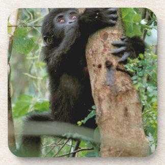 Africa, Uganda, Bwindi Impenetrable Forest Beverage Coaster