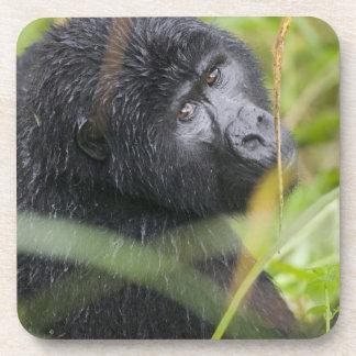 Africa, Uganda, Bwindi Impenetrable National 2 Coaster