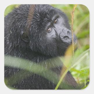 Africa, Uganda, Bwindi Impenetrable National 2 Square Sticker