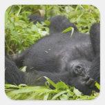 Africa, Uganda, Bwindi Impenetrable National 3 Square Sticker