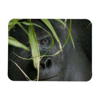 Africa, Uganda, Bwindi Impenetrable National 6 Magnet