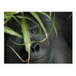 Africa, Uganda, Bwindi Impenetrable National 6 Postcard