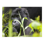 Africa, Uganda, Bwindi Impenetrable National Postcard