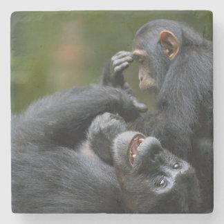 Africa, Uganda, Kibale Forest Reserve, Juvenile 2 Stone Coaster