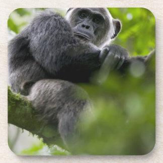 Africa, Uganda, Kibale Forest Reserve, Portrait 2 Drink Coaster