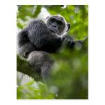 Africa, Uganda, Kibale Forest Reserve, Portrait 2 Post Card