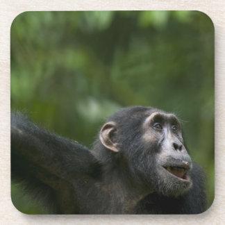 Africa, Uganda, Kibale Forest Reserve, Portrait Beverage Coaster