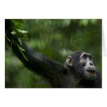 Africa, Uganda, Kibale Forest Reserve, Portrait Greeting Cards