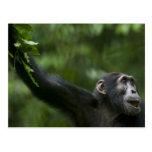 Africa, Uganda, Kibale Forest Reserve, Portrait Post Card