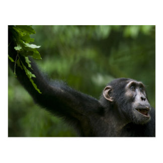 Africa, Uganda, Kibale Forest Reserve, Portrait Postcard