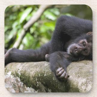Africa, Uganda, Kibale Forest Reserve, Young Beverage Coaster