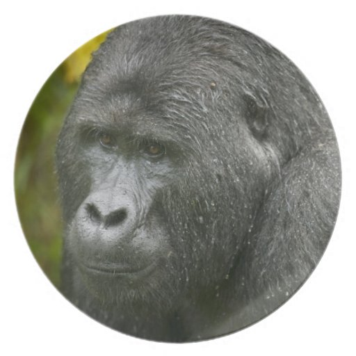 África, Uganda, nacional impenetrable 4 de Bwindi Plato