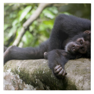 África, Uganda, reserva del bosque de Kibale, jove Azulejos