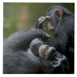 África, Uganda, reserva del bosque de Kibale, jove Azulejo