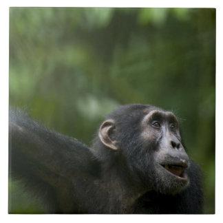 África, Uganda, reserva del bosque de Kibale, retr Azulejo Cuadrado Grande