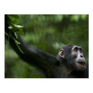 África, Uganda, reserva del bosque de Kibale, Postal