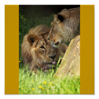 African Animals Lovable Lion Pair Posters