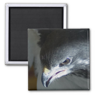 African Augar Buzzard 2 Inch Square Magnet