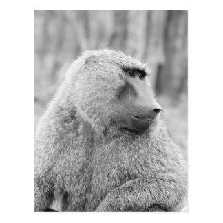 African baboon postcard