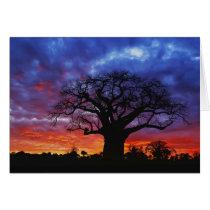 African baobab tree, Adansonia digitata, 2