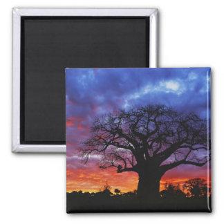 African baobab tree, Adansonia digitata, 2 2 Inch Square Magnet