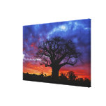 African baobab tree, Adansonia digitata, 2 Canvas Print