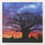 African baobab tree, Adansonia digitata 2 Glass Coaster