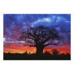 African baobab tree, Adansonia digitata, 2 Photo Print