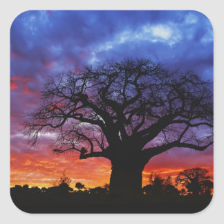 African baobab tree, Adansonia digitata, 2 Square Sticker